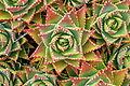 Ses Salines - Botanicactus - Aloe perfoliata 04 ies.jpg