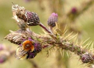 <i>Bombus muscorum</i> species of insect