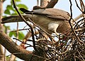 Shikra (Accipiter badius) feeding at nest W IMG 7147.jpg