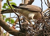 Shikra (Accipiter badius) feeding at nest W IMG 7147