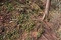 Shortia uniflora 02.jpg
