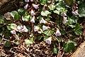 Shortia uniflora 10.jpg