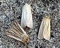 Shoulder-striped Wainscot, Southern Wainscot & Smoky Wainscot (5897575806).jpg