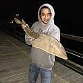 Shovelnose Guitarfish.jpg