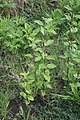 Sida rhombifolia plant8 (15957328909).jpg