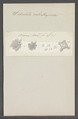 Siderolites calcitrapoides - - Print - Iconographia Zoologica - Special Collections University of Amsterdam - UBAINV0274 113 04 0014.tif