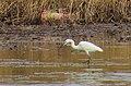 Silkeshäger Little Egret (15582449730).jpg