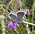 Silver -studded Blue - Flickr - gailhampshire.jpg