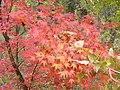 Simeria Dendrological park - red leaves - panoramio.jpg