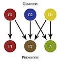 SimpleGenotypePhenotypeMap.jpg