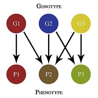 Pleiotropy Influence of a single gene on multiple phenotypic traits