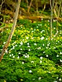 Small clearing with Anemone nemorosa.jpg