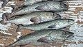 Small sablefish.jpg