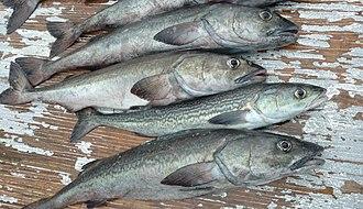 Sablefish - Image: Small sablefish