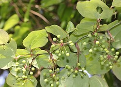 Smilax china (fruits s5).jpg