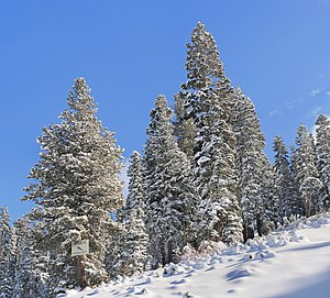 English: Snowy forest in Boreal, near Lake Tah...
