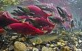 Sockeye salmon and arctic char.jpg