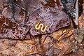 Soil centipede (40262491882).jpg