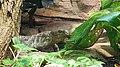 Solomon Islands skink (Corucia zebrata).jpg