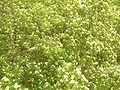 Sorbus aucuparia - flowers.JPG
