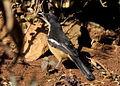 Southern Boubou (Laniarius ferrugineus) (7623230084).jpg