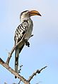 Southern Yellow-billed Hornbill, Tockus leucomelas, at Elephant Sands Lodge, Botswana (32165911131).jpg