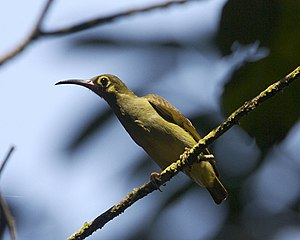 Sunbird - The spectacled spiderhunter is the largest species of sunbird