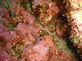 Spectacled triplefin at Taranga pinnacles Hen and Chicken Islands PA232345.JPG