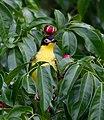 Sphecotheres vieilloti -Cairns, Queensland, Australia -juvenile-8.jpg
