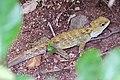 Sphenodon punctatus -Karori Wildlife Sanctuary, Wellington, New Zealand-8.jpg