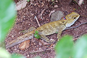 A Tuatara in Karori Wildlife Sanctuary, Wellin...