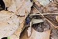 Spider wasp (41017473762).jpg