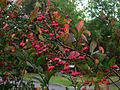 Spindle tree - Flickr - peganum.jpg
