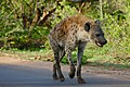 Spotted Hyaena (Crocuta crocuta) on the road ... (50307943006).jpg