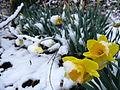 Spring-snow-daffodil-flowers1 - West Virginia - ForestWander.jpg