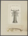 Squilla mantis - - Print - Iconographia Zoologica - Special Collections University of Amsterdam - UBAINV0274 097 13 0003.tif