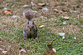 Squirrel (14735426567).jpg