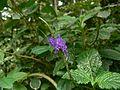 Stachytarpheta cayennensis (753765110).jpg