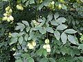 Staphylea pinnata sl8.jpg