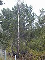 Starr-010515-0124-Pinus pinaster-habit-Hosmers Grove HNP-Maui (23905810803).jpg