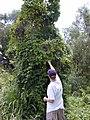 Starr-020620-0081-Coccinia grandis-climbing habit with Matt-Kapalua-Maui (24254449590).jpg