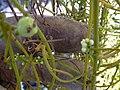 Starr-030716-0147-Cassytha filiformis-flowers and fruits-Kanaio-Maui (24554489381).jpg