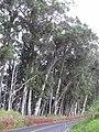 Starr-031002-0026-Eucalyptus globulus-habit-Piiholo-Maui (24672907955).jpg