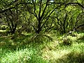 Starr-050108-3005-Cordia subcordata-restoration site-Kanaha Beach-Maui (24708182496).jpg
