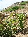 Starr-050404-5409-Solanum americanum-habit-Mokeehia-Maui (24715497676).jpg