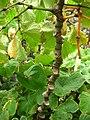 Starr-050407-6288-Piper methysticum-stem-Maui Nui Botanical Garden-Maui (24116889714).jpg