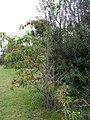 Starr-090514-7836-Prunus persica var nucipersica-fruiting habit-Kula-Maui (24659776410).jpg