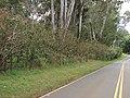 Starr-090601-8691-Montanoa hibiscifolia-along fence with road-Ulupalakua-Maui (24960908855).jpg