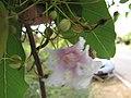 Starr-090707-2292-Catalpa longissima-flower and leaves-Waikapu-Maui (24341972793).jpg