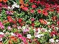 Starr-090714-2747-Impatiens walleriana-flowers mixed colors-Kapalua-Maui (24674171190).jpg